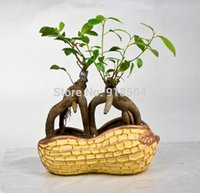 Wholesale Ginseng Seeds Wholesale - Rare Genuine 50pcs Ficus Ginseng seeds Ginseng Herbs seeds Banyan tree seeds Free Shipping