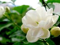 Wholesale ship jasmine flowers resale online - SEEDS ARABIAN JASMINE JUSMINUM SAMBAC WHITE SHRUB FLOWER SEEDS Multi petal