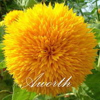 Wholesale Sunflower Flower Seeds Bag Double Blooms Easy to Grow from Seeds Popular Cut Flower Yard Garden Container Plant