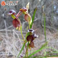 ingrosso pianta in vaso di orchidea-100Pcs Flying Duck Orchid Seeds Pianta rara Semi di orchidea nera Piante da giardino Semi di fiori in vaso
