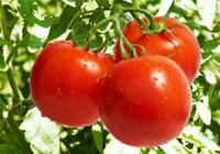semillas de vegetales bonsai al por mayor-Bonsai planta Semillas Raras Semillas de Tomate Semillas de vegetales Orgánicos decoración del jardín planta 30 unids D21