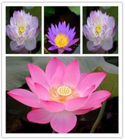 Wholesale Lotus Flowers Water - Promotion 5pcs Lotus seeds bonsai lotus flower seeds plants water lily lotus seed Aquatic plants How to Plant hom