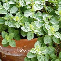 Herb Seeds oregano plant - Oregano Herb Seeds Hardy Perennial Vegetable for DIY Home Garden Bonsai Easy growing DIY Home Garden Flowering Plant High Germination