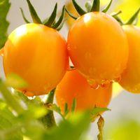 sebze kapları toptan satış-Bir Paket 100 Adet / paket Sarı Domates Tohumları, Balkon meyve Sebze Domates Saksı Bonsai Bitki Tohumları