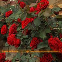 rosensamen china großhandel-100 Samen / pack, China Seltene Schwarze Rose Blume Liebhaber DIY Pflanzen Hausgarten Rare Black Rose Blumensamen Freies Verschiffen