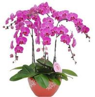 ingrosso piante gialle-Phalaenopsis Moth Orchid Flower Seeds Grown Giallo giardino decorazione piante 20pcs F61