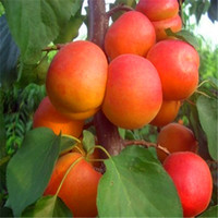 Wholesale Cheap Wholesale Bonsai - Cheap Bonsai Hot selling 5seeds bag The Apricot tree fruit seeds home garden A022