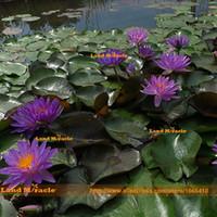 ingrosso piante di semi di giardino-Seme di giglio acquatico con laghetto da giardino, 1 semi / pack, addormentato facile da piantare semi di loto viola