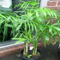 ingrosso sementi di qualità-30 pz Cina Rare Palm semi di bambù Rare di alta qualità Bonsai Giardino di casa semi S007