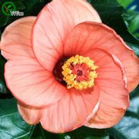 ingrosso semi di bonsai arancione-Orange Hibiscus seeds Bonsai Seeds Piante da giardino Semi di fiori Annuale Erba 50 Particelle / lotto q02