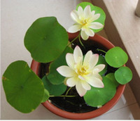 Wholesale Aquatic Seeds - Multicolor lotus seeds hydroponic plants aquatic flowers mini water lily 10pcs garden decoration plant 10pcs F127