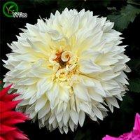 dahlias tohumları toptan satış-Beyaz Dahlia Tohumları Saksı Yetiştiricilerinin Bahçe Bonsai Çiçek Tohumu 30 Parçacıklar / lot L090