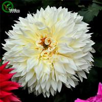 semillas de dalias al por mayor-White Dahlia Seeds Flower Pot Planters Jardín Bonsai Flor de Semillas 30 Partículas / lote L090