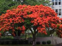 свежие семена деревьев оптовых-25 свежих семян Delonix regia Tree Royal Poinciana (Яркое дерево Пламенное дерево) Бесплатная доставка