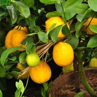 ingrosso mini pentole per le piante-Semi di limone giallo Frutta deliziosa Mini semi di alberi da frutto in vaso Interessante pianta di bonsai 30 Particelle / lotto x008