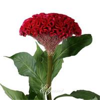 Wholesale Easy Start - Giant Red Cockscomb Flower 1000 Seeds Red Velvet Celosia Super Easy to Start from Seeds