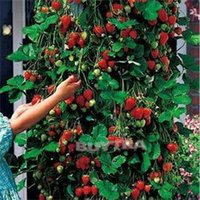 Wholesale Delicious Hot Sale Homeyard Red Climbing Strawberry Seeds Novetly Tasty Plant Seeds Beautifying Bonsai