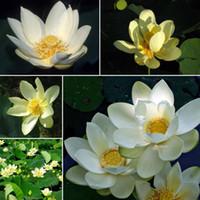 semillas de nelumbo al por mayor-Amerikanische Lotosblume Nelumbo lutea semillas Lotus semillas jardín decoración planta 10 unids F90