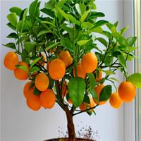 macetas de arboles al por mayor-Semillas de fruta enano de pie árbol de naranja semillas planta de interior en planta de decoración de jardín de maceta 30 unids E24