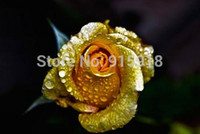 Wholesale Bonsai flower rose seeds Really Rare quot Golden Rose quot Natural growth Beautiful and moving Home gardening shipping
