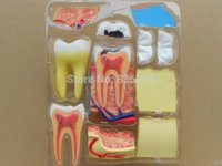 Wholesale Root Teeth - Dental lab Dentist equipment oral hygiene 4D Puzzle Human Triple Root Molar Tooth Anatomy Study Series 3D Model grooming product