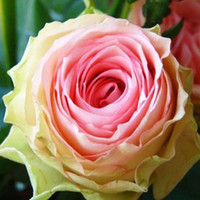 Wholesale French Seeds - Free Shipping French Rose Flower Seeds *100 Seeds Per Package*Cheap Balcony Potted Flowers Seed Garden Plants