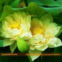 semillas de loto acuaticas al por mayor-Flower Seeds, 100% True Natural Growth Yellow Lotus Seeds, 1 Semillas / paquete, Plantas acuáticas Semillas de lirio de agua