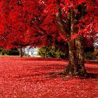 ingrosso piantare alberi di acero-20 particelle Beautiful Japanese Red Maple Seeds bonsai albero 100% vero seme in natura tiro casa giardino pianta