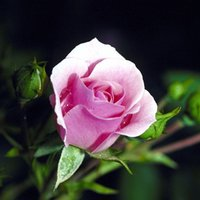 Wholesale Pink Pots - Free Shipping Pink Lady Rose Flower Seeds *100 Seeds Per Package*Cheap Balcony Potted Flowers Seed Garden Plants
