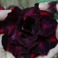 çiçekler çölü toptan satış-Crimson Çöl Gül Çift Yapraklı Çiçekler Tohumları Saksı Çiçekleri Tohumları Süs Bitkileri Balkon Adenium Obesum Tohumları 20 adet