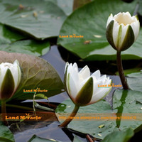 Wholesale Bonsai White - Aquatic Plant Flower Seeds, Water Lily Seed, 1 Seeds pack, White Lotus Seeds Bonsai For Home Garden