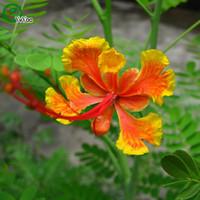 Wholesale Impatiens Flower - Impatiens cyathiflora Seeds Flower Seeds Indoor Bonsai plant 20 particles   lot Z014