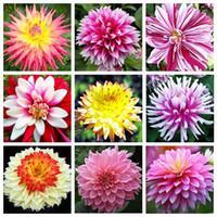 dahlias tohumları toptan satış-21 Çeşit Çok Renkli Dahlia Tohumları Seçmek için Bonsai Dahlia Çiçek Tohumları Çok Yıllık Bitki Tohumları-100 ADET