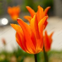 ingrosso piantare piante di tulipani-100pcs / bag Bonsai Tulip Seeds Rare Orange Petals Tulip Flower Seeds HomeGarden Piante in vaso