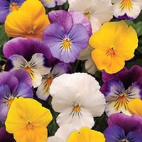 Wholesale Viola Tricolor Flower - 100beautiful Pansy Seeds Wavy Viola Tricolor Flower Seeds bonsai potted DIY home&garden original packing TT063