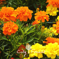 Wholesale French Marigold Flower - Tagetes Patula Flower 100 Seeds French Marigold landscape Flower Super Easy to Grow