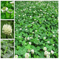 Wholesale Clover Garden - 400 White Dutch Clover Seeds Elegant Plant Improve Your Garden Soil TT138