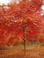 Wholesale Trees Wholesale Red Maple - Wholesale - 50 JAPANESE MAPLE TREE Acer Palmatum Red tree Seeds Free shipping