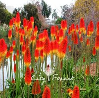 Wholesale flower poker - Kniphofia Torch Lily Flower Red Hot Poker Kniphofia uvaria 50 Seeds  Bag Easy to Grow Excellent Perennial Flower