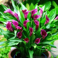 Wholesale Plants Seeds Bulbs - 18 Colors Available Calla Lily seeds Bulbs Potted Balcony Plant Calla Can Radiation Absorption -100 pcs flower seeds