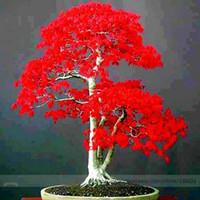 ingrosso albero di bonsai di acero rosso-Semi di piante in vaso 20 PZ American Blood Red Maple Tree Seeds Bonsai Giardino di casa 10 pz / lotto RS74