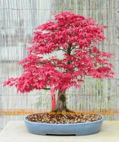 ingrosso acero rosso bonsai-100% Real American Blood Red Maple Tree Seeds, 10 Seeds / Pack, Bonsai SOW ALL YEAR Piantagione Indoor o Outdoor