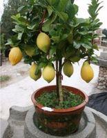 ingrosso semi organici-Rare Dwarf Lemon Tree Seeds Bonsai Fruit Plant Organic Garden decorazione vegetale 10pcs E01