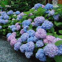 ortanca bitkiler toptan satış-30 Parçacıklar / lot Çiçek Tohumları Güzel Ortanca tohumları Bonsai Bitki Ev Bahçe için a013