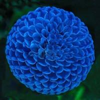 ingrosso piantagione dahlia-Vendita calda Unique Blue Fireball Dahlia Seeds Bella semi di fiori Semi di piante perenni Dahlia - 100 PZ