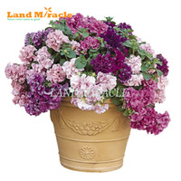 flower seeds common soil cultivation imported double petunia mixed seed 100 seed pack bonsai