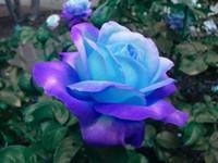 rosa rosen dekorationen großhandel-Seltene blau-rosa Rosen, die Balkon Topf Rosen Reihe von Blumensamen Gartendekoration Pflanze 20 Stück B57