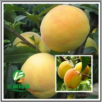 Wholesale Wholesale Peach Trees - 100pcs lot Wholesale Hot Sale Peach Direct peach tree Fairview fresh seeds new varieties sweet yellow peach seed