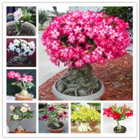 Wholesale Indoor Potted Trees - Desert Rose Seeds Potted Flowers Seeds Adenium Obesum Indoor Bonsai Plant Mini Potted Tree For Home Garden Plant 1 Pcs