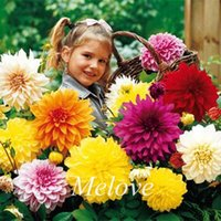 Wholesale Garden Cut Flowers - 100 Seeds Mixed Color Dahlia Flower Excellent Cutting Flower for DIY Home Garden Impressive Beautiful Flowering Plant for Container & Ground